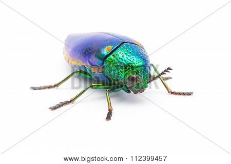 Beautiful Jewel Beetle or Metallic Wood-boring (Buprestid) top view isolated on white background.