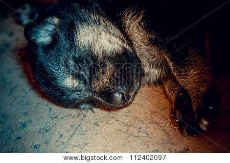 muzzle a little newborn puppy German shepherd closeup