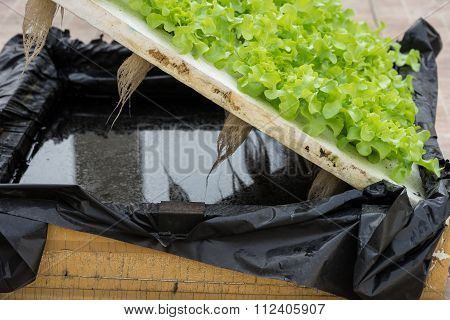 Sprout Green Oak Lettuce Hydroponic , On Pond Foam