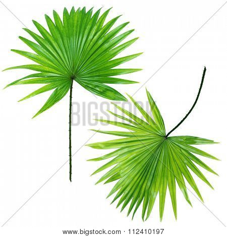 Palm  leafves (Livistona Rotundifolia palm), isolated on white