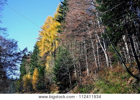 Autumn colored mountain forests.