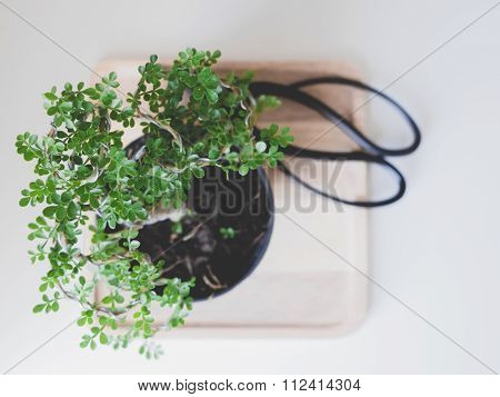 Green Bonsai In Black Pot On Wooden Tray Near To The Japanese Scissors On The White Table. Minimalis