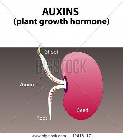 Auxins. Plant Hormone
