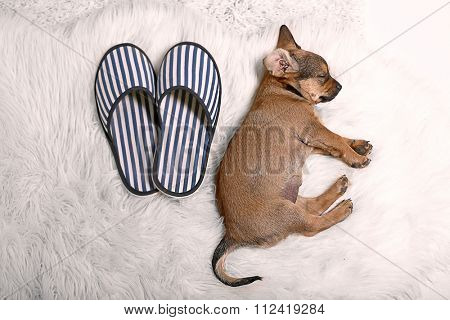 Cute puppy sleeping on carpet at home