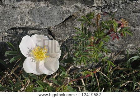Burnet Rose