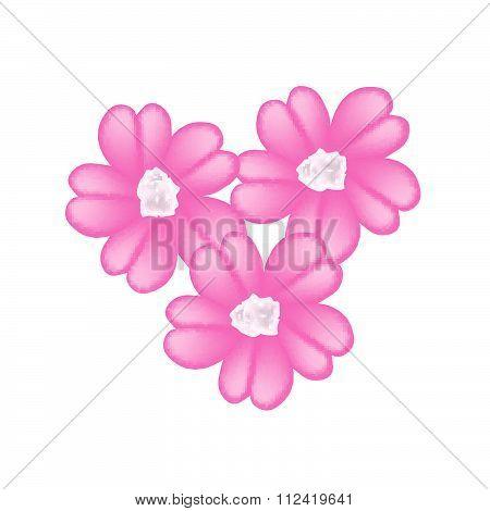 Pink Yarrow Flowers Or Achillea Millefolium Flowers