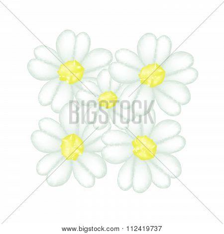 Fresh White Yarrow Blossoms On White Background