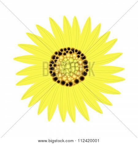 Elegant Perfect Yellow Sunflower On White Background