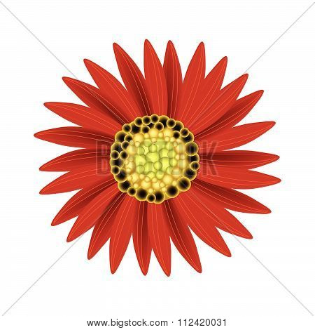Elegant Perfect Red Sunflower On White Background