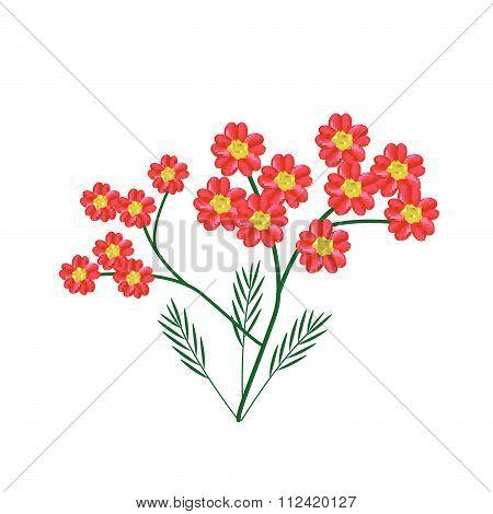 Blossoming Of Red Yarrow Flowers Or Achillea Millefolium Flowers