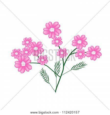 Blossoming Of Pink Yarrow Flowers Or Achillea Millefolium Flowers