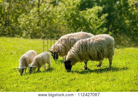 A Ewe And Lamb Grazing In Summer.