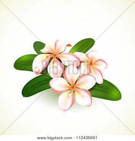 Frangipani Flowers Isolated On White.
