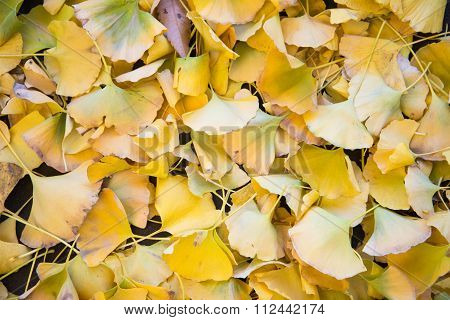 Bright Yellow Color Ginkgo Leaves
