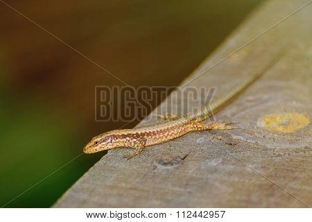 Lizard On The Wooden Plank