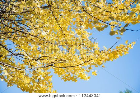 Bright Yellow Color Leaves On Ginkgo Tree