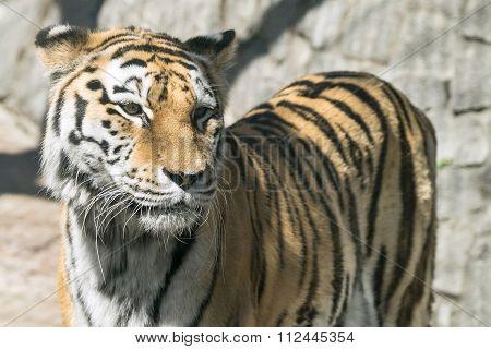 The Big Striped Tiger Closeup