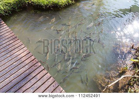 Big Fish In Clear Pool