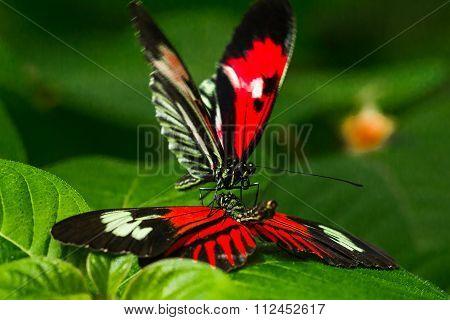 Madiera butterfly macro shot