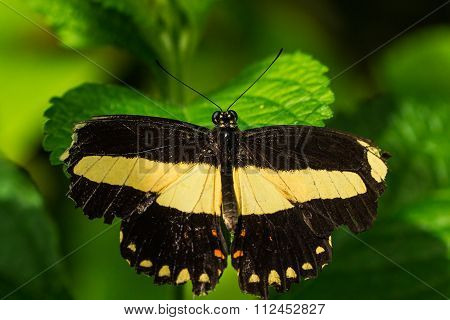 Grecian Shoemaker butterfly macro shot