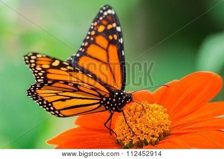 Monarch butterfly macro shot
