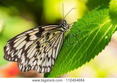 Tree Nymph butterfly macro shot