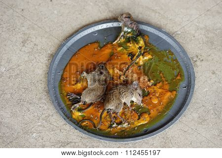 Dirty Rat Captured On Glue Trap Board