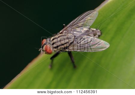 A macro shot of fly on a leaf green background.