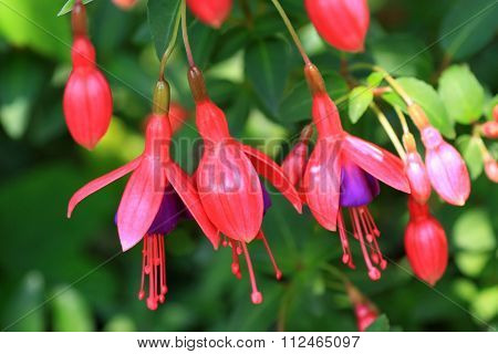 Red fuchsia flowers in the garden
