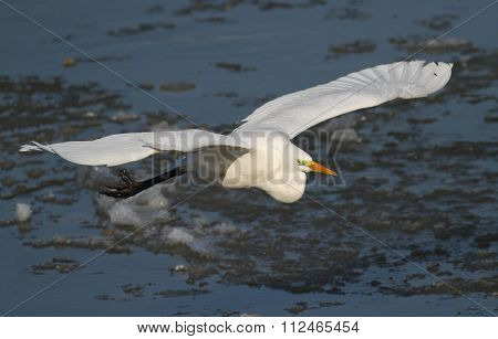 Great White Egret Fly Over Frozen River