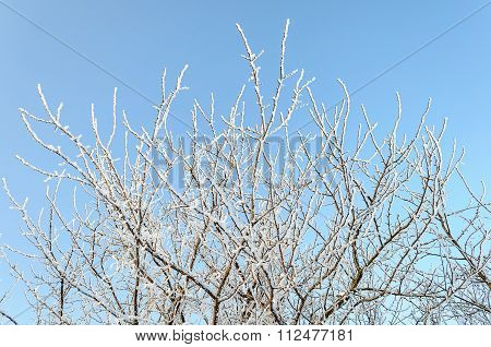 Tree Branches Covered With Hoarfrost