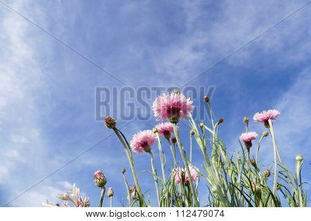 Pink Cornflower With Blue Sky Background