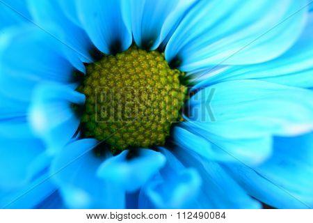 Blue Daisy Macro