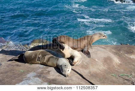 Harem Of Sea Lion Near Point La Jolla