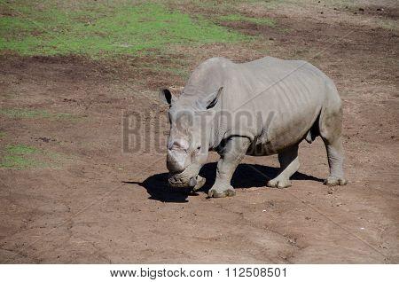 White Rhino Walking In Plains Of A Safari Park