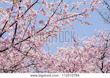 Cherry blossoms under sky