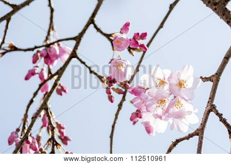 Cherry blossoms and branches