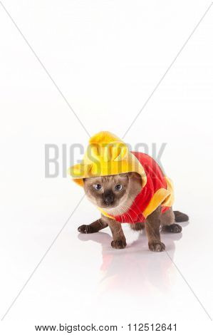 Siamese cat with a colorful costume on a white background