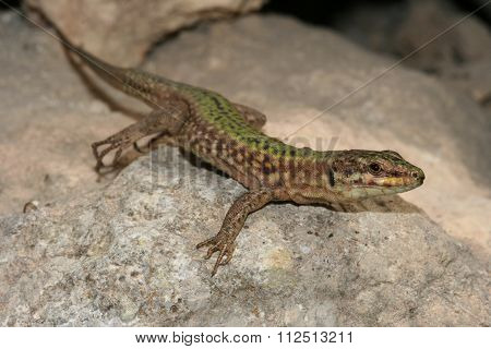 Filfola Lizard, Podarcis Filfolensis Protected Endemic Reptile Species