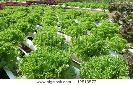 Lettuce Grown With Organic Methods.