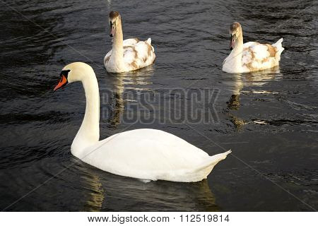 Swans very beautiful very beautiful and unique birds
