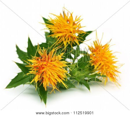 Close Up Of Safflowers