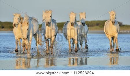 White Camargue Horses running on the water