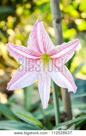 pink Amaryllis flower in garden