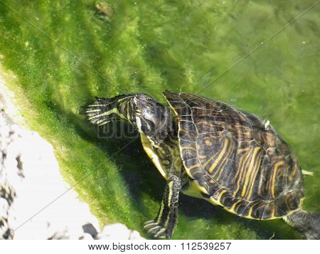 Aquatic Turtle Getting Out Of Water