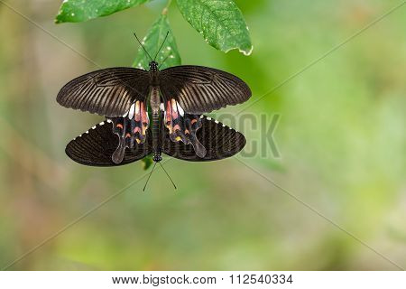 Pair Of Mating Mormon Butterflies Hanging On Leaf