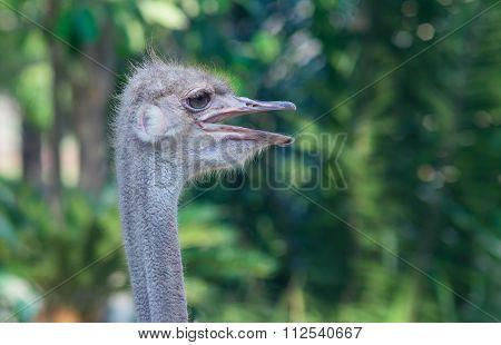 Ostrich (struthio Camelusin)