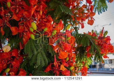 Royal Poinciana Flowers.