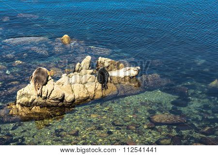 Harbor seals on the rocks in Monterey, California