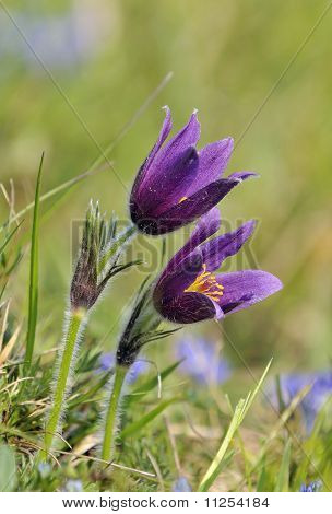 Two Pasque Flowers